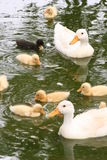 Duck Family. A family of duck swimming on a pond Stock Images