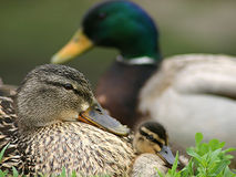 Duck Family. Hanging out Stock Photography