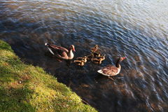 Duck Family stockbilder