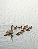 Duck family. Mother duck and ducklings are swimming on the lake royalty free stock image
