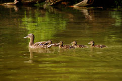 Free Duck Family Royalty Free Stock Image - 95902396