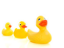 Duck family. Two yellow ducks folowing the leader isolated Royalty Free Stock Photo