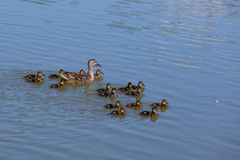 Duck family. Adult duck leading baby ducks swimming royalty free stock images