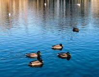Duck family in the autumn pond royalty free stock photo