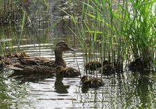 Duck family in the autumn pond. Wonderful day by the lake in the park! Overlooking the duck family royalty free stock photo