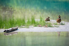 Duck family with babies at river with grass water Stock Image
