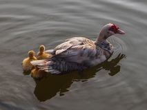 Duck family. The duck and baby are swimming in the pond stock image