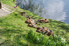 Duck family on the banks Stock Photography