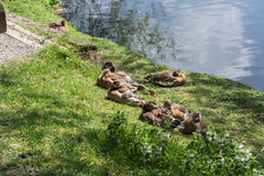 Duck family on the banks Royalty Free Stock Photography