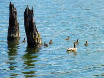 Duck family. On a beautiful lake near snags royalty free stock photo