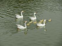 Duck family. Beautiful duck family in the pond stock photo
