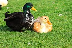 A duck family, a big black drake and a yellow duck are sitting on a green lawn. Poultry on a farm in the village, birds. A duck family, a big black drake and a stock photos
