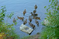 Duck family on the border of the lake. Waiting for food - anatidae stock photo