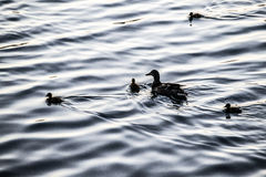 Duck family in Central Park. At dusk royalty free stock photo