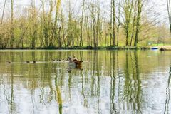 Duck family with young animals on the shore of a lake. On a sunny day stock image