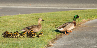 Duck Family. Dad and mother duck with their 10 young ducklings going of a walk royalty free stock photos
