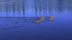 Duck family on deep blue lake on a sunny day. A family of ducks swimming behind green leafy branches and out to a deep blue lake stock video footage