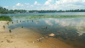 Duck family on the Dnipro. They have their own atmosphere. duck family on the river royalty free stock images