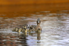 Duck family with duck chicks. A Duck family with duck chicks Stock Image