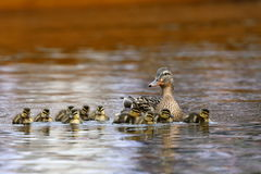 Duck family with duck chicks. A Duck family with duck chicks Royalty Free Stock Photography