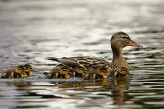 Duck family with duck chicks. A Duck family with duck chicks Royalty Free Stock Photo