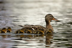Duck family with duck chicks. A Duck family with duck chicks Royalty Free Stock Image