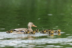 Duck family with duck chicks. A Duck family with duck chicks Stock Photography