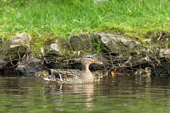 Duck family with duck chicks. A Duck family with duck chicks Stock Images