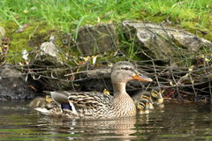 Duck family with duck chicks. A Duck family with duck chicks Royalty Free Stock Photos