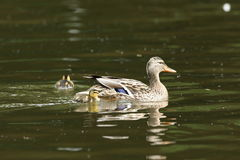 Duck family with duck chicks. A Duck family with duck chicks Royalty Free Stock Images