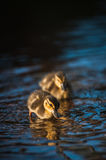 Duck family with duck chicks Royalty Free Stock Image