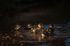 Duck family with duck chicks Royalty Free Stock Photos
