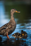 Duck family with duck chicks Stock Photography