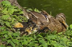 Duck family. By the lake, on green vegetation stock images