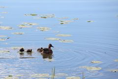 Duck family. With many small ducklings swimming in pond Stock Images