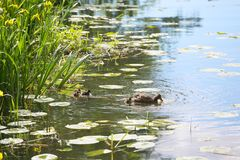 Duck family. With many small ducklings swimming in pond Royalty Free Stock Images