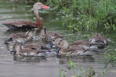 Duck family. A duck family swimming along lake shore royalty free stock photography