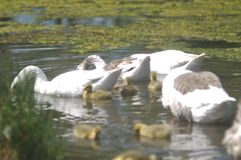 Duck family. Swimming in a pond royalty free stock image
