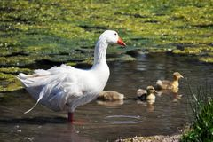 Duck family. Walking to the pond royalty free stock photography