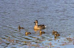 Duck family. Duck and little ducklings. Duck family. Duck with ducklings swims in the water royalty free stock photo