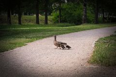 Duck family with 3 ducklings crossing the road. royalty free stock photos