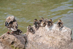 Duck family. Ducklings and mother resting on a rock royalty free stock photos