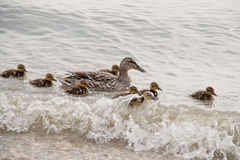 Duck family. Ducklings and mother swimming in a lake royalty free stock photography