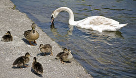 Duck family. On the edge of a river and the white swan in the background royalty free stock image