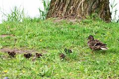 Duck family female and chicks nibble grass around a large tree.  stock photo