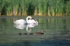 Duck Family. Female Duck swimming with three baby ducks royalty free stock photos