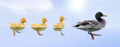 Duck family floating in a raw. Against cloudy sky stock image