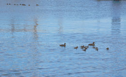 Duck Family flottant sur l'eau Photos stock