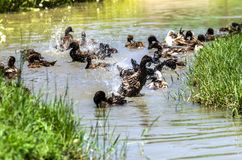 Duck is a family fun with water. A group of ducks are swimming in a pond at a meadow in the park Royalty Free Stock Images