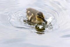 Duck family in Harstad at Lofoten. In Norway Stock Photo